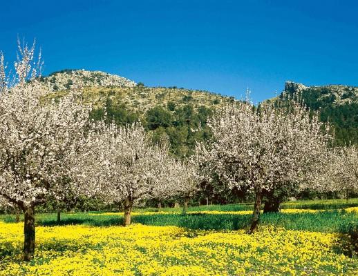 Europa. Spanien. Mallorca. Mandelblüte. © Foto: Dertour