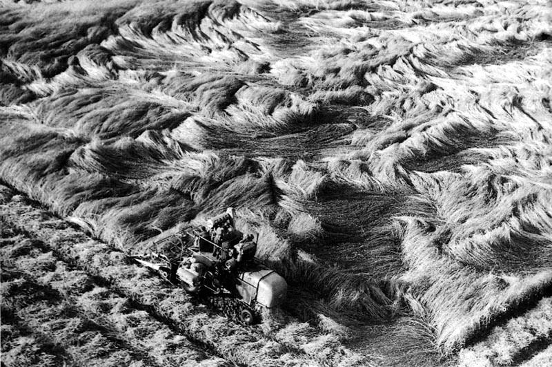 Class-Mähdrescher im Roggenfeld um 1954: Die Motorisierung in der Landwirtschaft setzte zwar schon Ende des 19. Jahrhunderts ein, die flächendeckende Maschinisierung dauerte jedoch noch bis in die frühe Bundesrepublik an. Foto: Josef Schulze-Wermeling