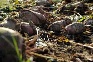 Bevor die Rüben geerntet werden können, müssen die Jungpflanzen am Samstag im LWL-Freilichtmuseum Detmold vereinzelt werden. Foto: LWL/Stuke